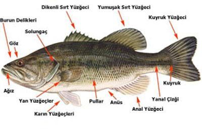 Balıklarda Anatomik Yapı