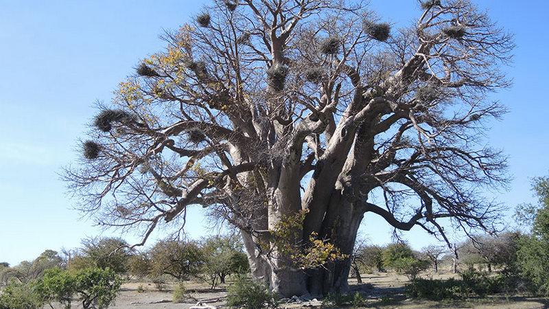 Afrika'daki baobab ağaçları ölüyor ve hiçbirimiz nedenini bilmiyoruz