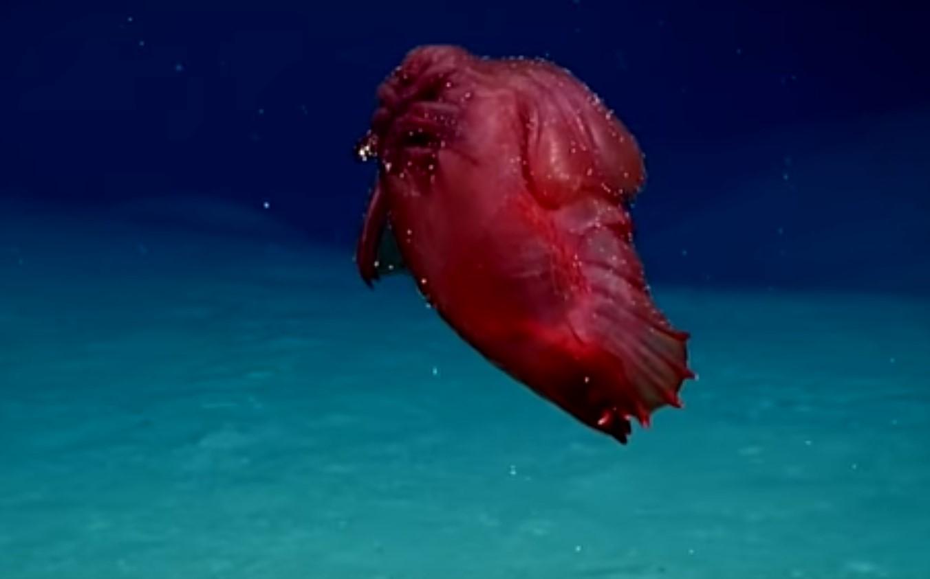 İlk kez Güney Okyanusu'nda görülen derin deniz hıyarı