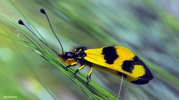 Baykuş Böceği, Baykuş Sineği (Libelloides macaronius)
