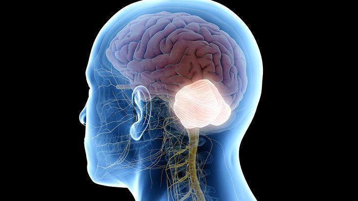 Beyincik, insan beyninin evriminde önemli bir role sahip olabilir