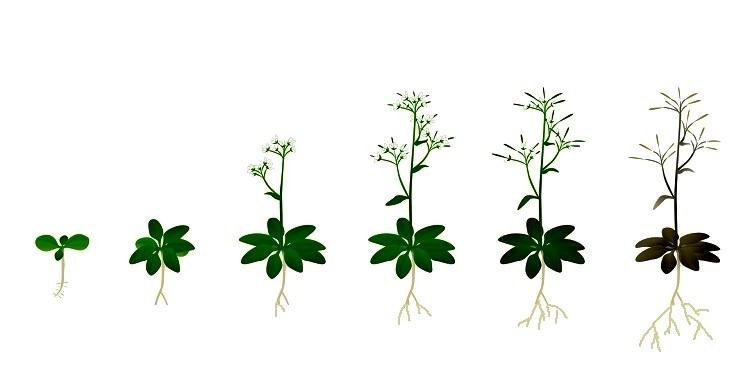 Bitki İçi Haberleşmeyi Tanımlayan Matematiksel Yaklaşım Geliştirildi