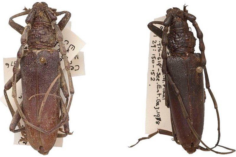 Yıllar önce bulunan bu böceklerin 4.000 yıl önce yaşadığı anlaşıldı. C: Trustees of the Natural History Museum, London