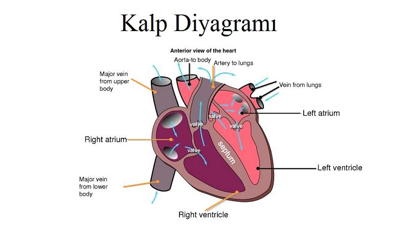 Kalp Kapakçıkları ve Kalp Sesleri