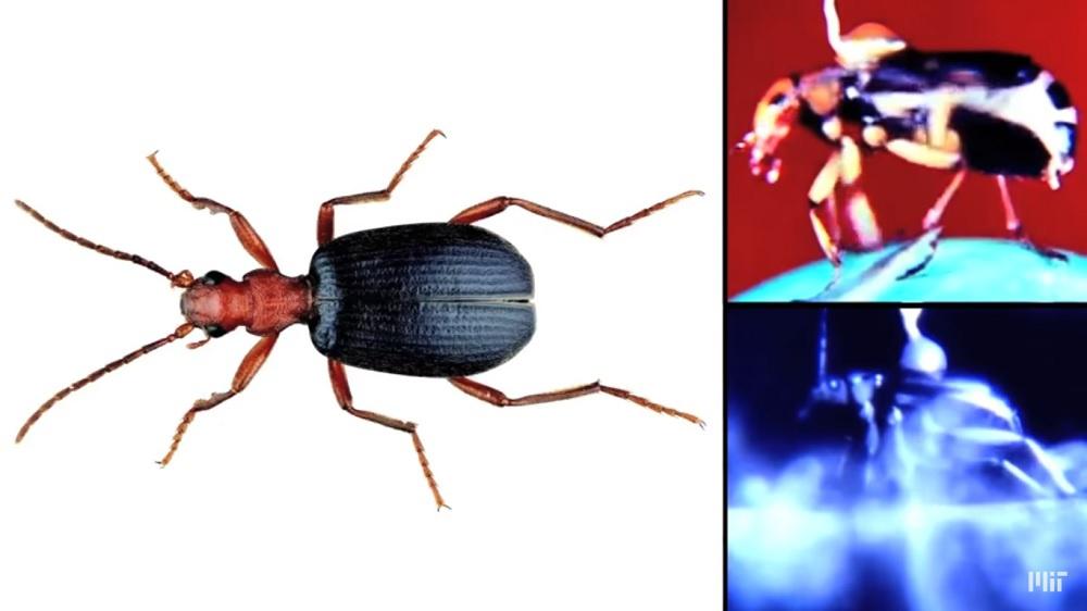 Bombacı Böcek (Bombardier Beetle)