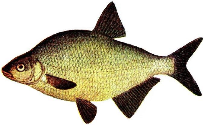 Çapak balığı (Abramis brama)