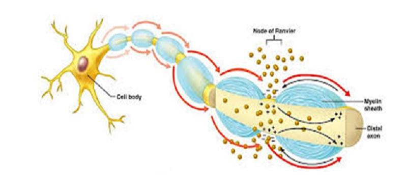 Riboflavin taşıyıcı eksikliği nöronopatisi- Brown-Vialetto-Van Laere sendromu
