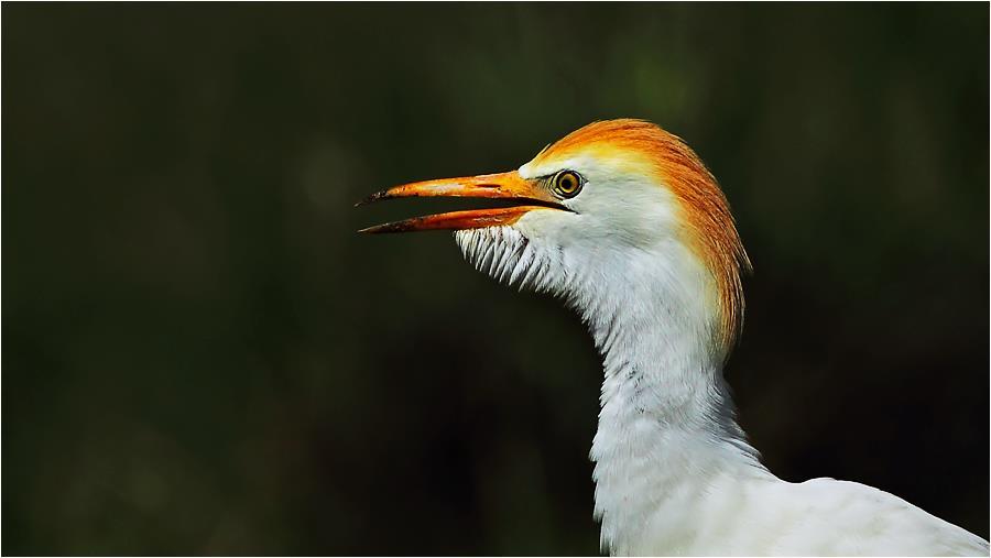 Bubulcus ibis - Sığır Balıkçılı, Öküz Balıkçılı