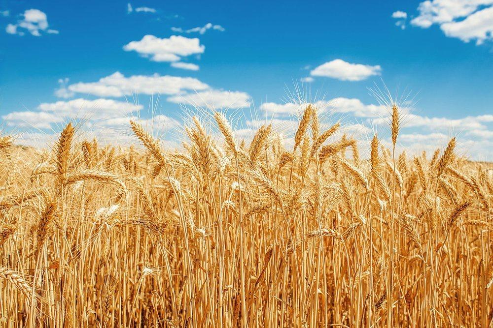 CRISPR gen düzenleme teknolojisi bitki ıslahında yaygın olarak kullanılabilir mi?