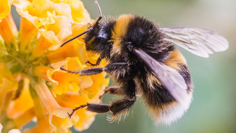 İklim değişiklikleri, yaban arısı sayısında düşüşe neden oluyor