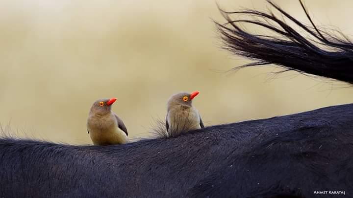 Kızıl Gagalı Öküz Kakan - Buphagus erythrorhynchus