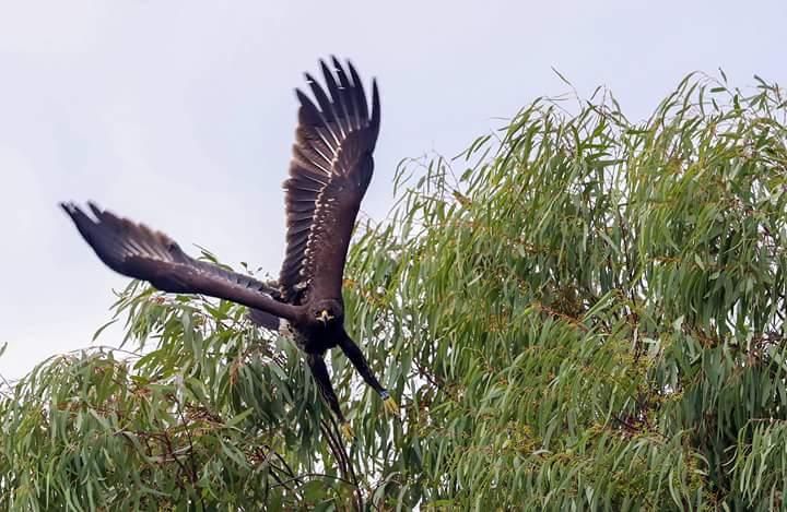 Büyük Orman Kartalı - Aquila clanga