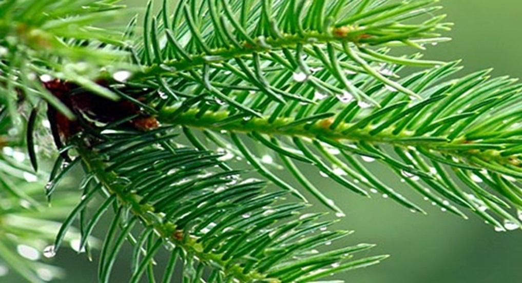 Çam ağacının yaprakları neden yaz-kış sürekli yeşil kalır ?