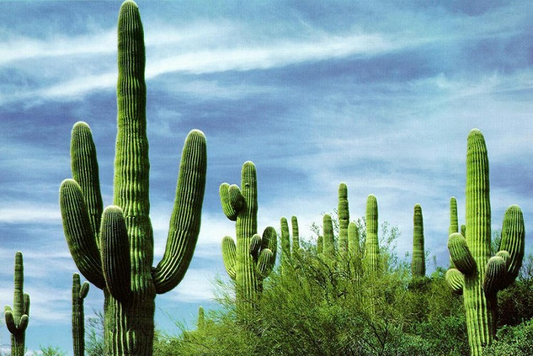 Kaktüsgiller - Cactaceae Hakkında Bilgi