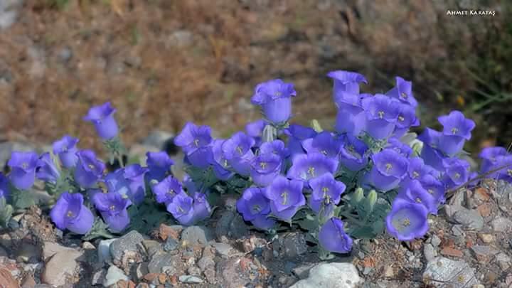 Campanula tomentosa - Yakalıçan Çiçeği