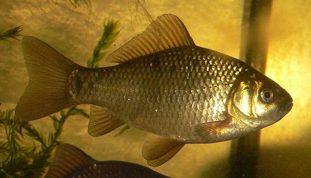 Havuz balığı (Carassius carassius)