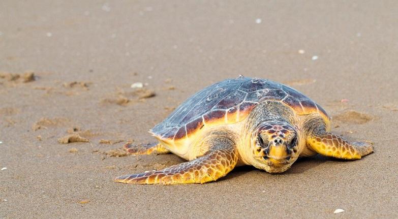 Caretta caretta ( Deniz Kaplumbağaları)