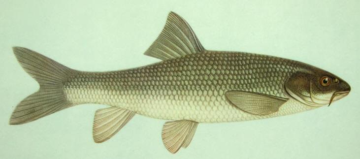 Sıraz balığı (Capoeta pestai)