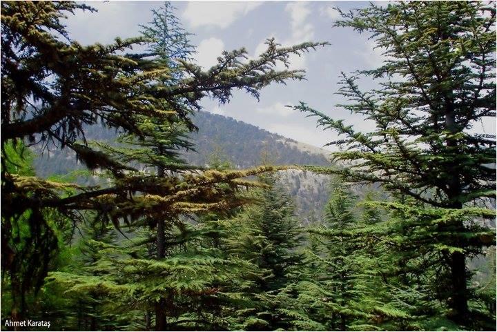 Cedrus libani - Sedir Ağacı, Toros Sediri, Lübnan Sediri, Katran Ağacı