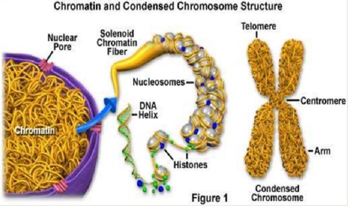 Ökaryotik Kromatinin Fonksiyonu