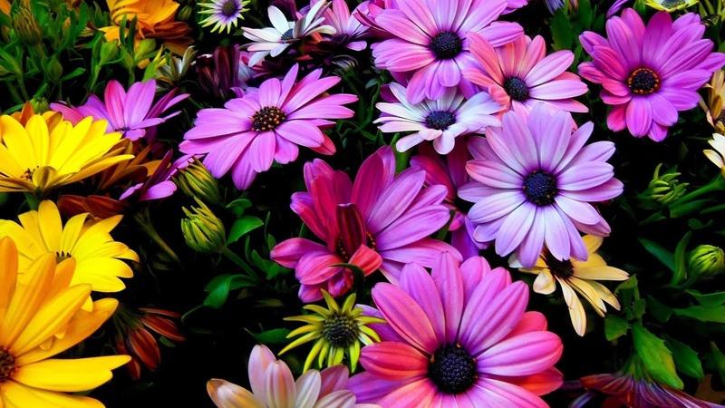 Çiçek çeşitliliğinin ana kaynağı bir gen ailesi mi?