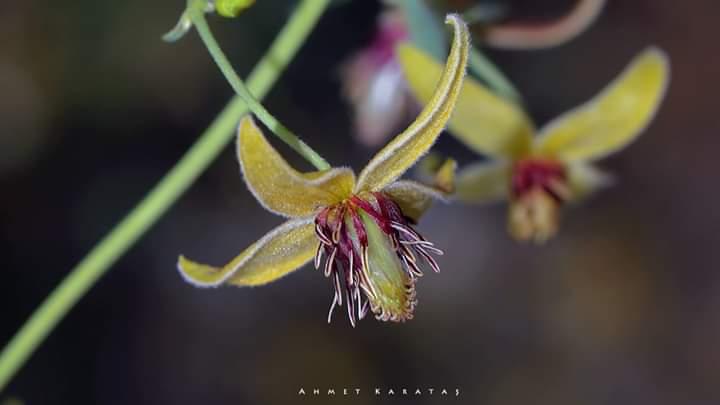 Clematis orientalis - köpektutağı