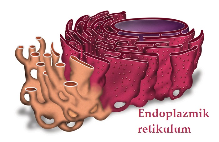 Böbrek hastalıklarında Endoplazmik retikulum stresi, protein tepkisi ve otofaji