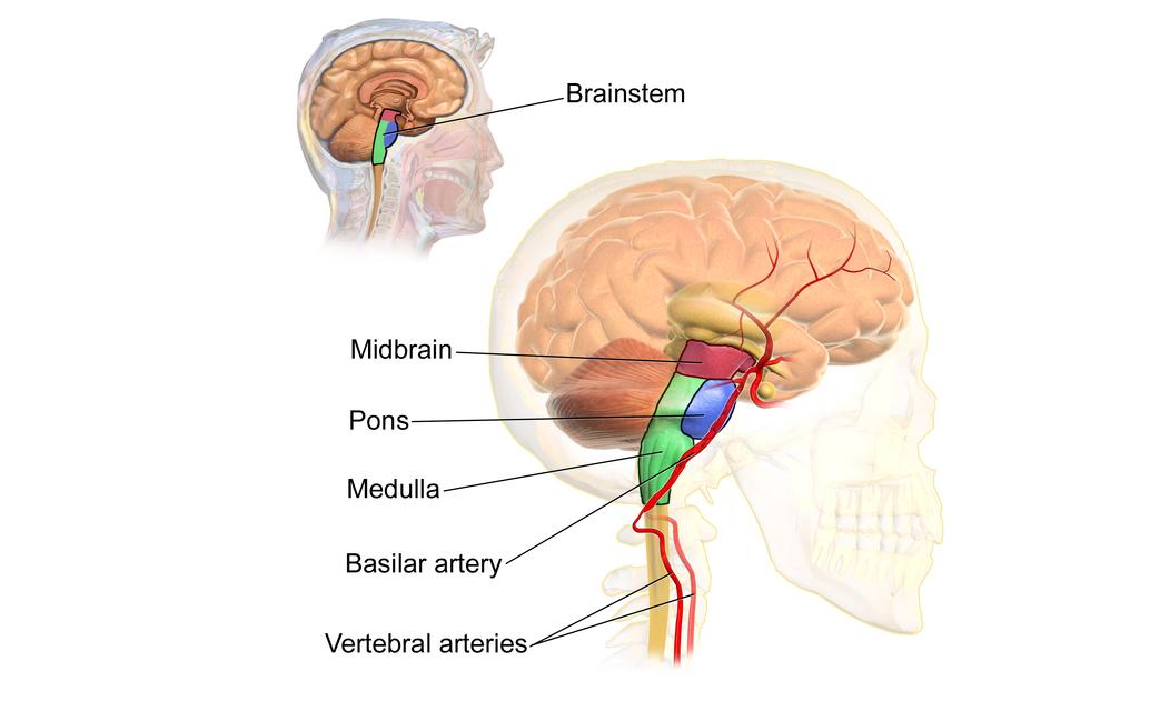 Beyin Sapı İşlevi