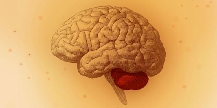 Serebellum: Çoklu Fonksiyona Sahip Küçük Beyinler