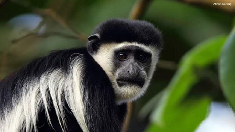 Kolobus maymunu - Colobus guereza