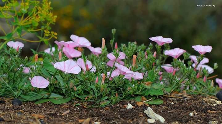 Çadır Çiçeği - Convolvulus cantabrica