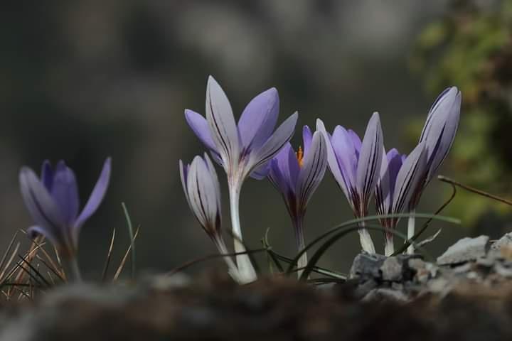 Fotoğraf: Mehmet Çelik Crocus asymmetricus