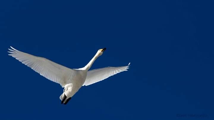Ötücü kuğu - Cygnus cygnus