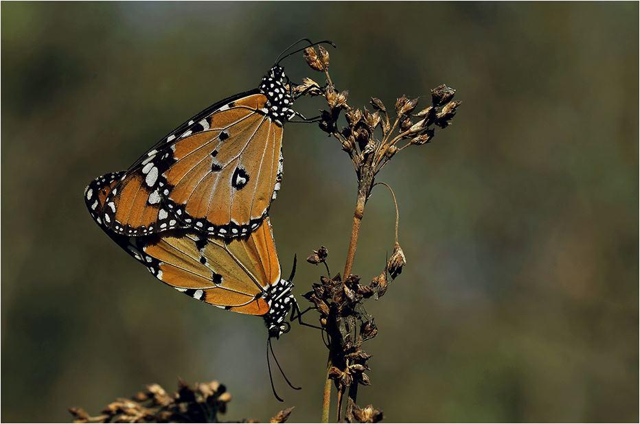 Danaus chrysippus - Sultan