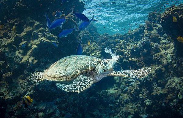İncelenen deniz kaplumbağalarının hepsinin bağırsağından mikroplastik çıktı