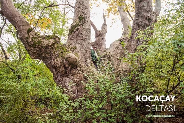 Türkiye'deki en yaşlı çınar ağaçlarından biri Karacabey'de keşfedildi.