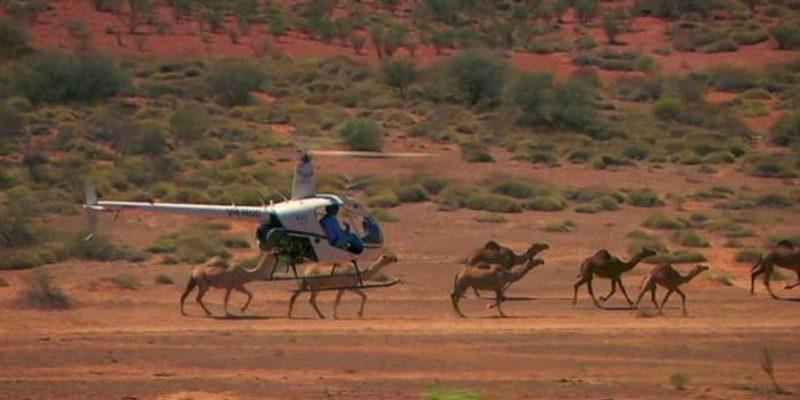 Avustralya'da katliam: 10 bin deve 'çok su içiyor' diye infaz edilmeye başlandı