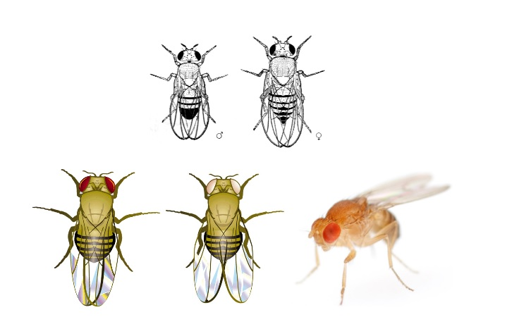 Drosophila melonagaster Genetiği
