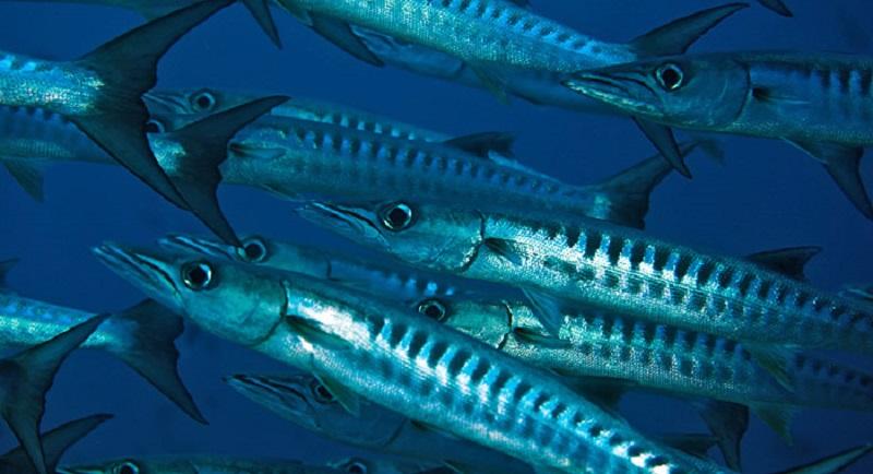 Barracuda - Baraküda hakkında bilgi