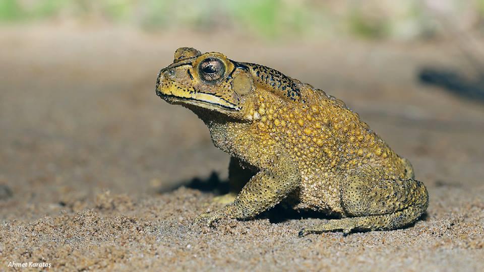 Duttaphrynus melanostictus - Sunda Karakurbağası