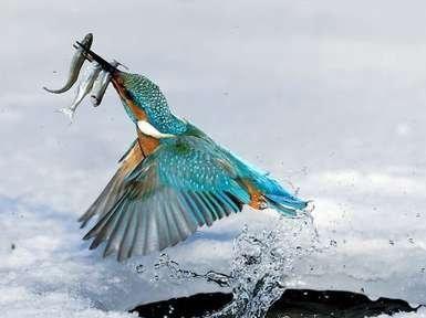Yalıçapkını - Emircik kuşunun ilginç özellikleri