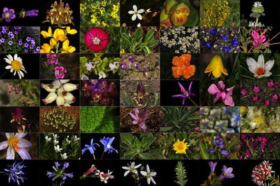 Türkiyenin Endemik Çiçeklerine Ait Fotoğraflar