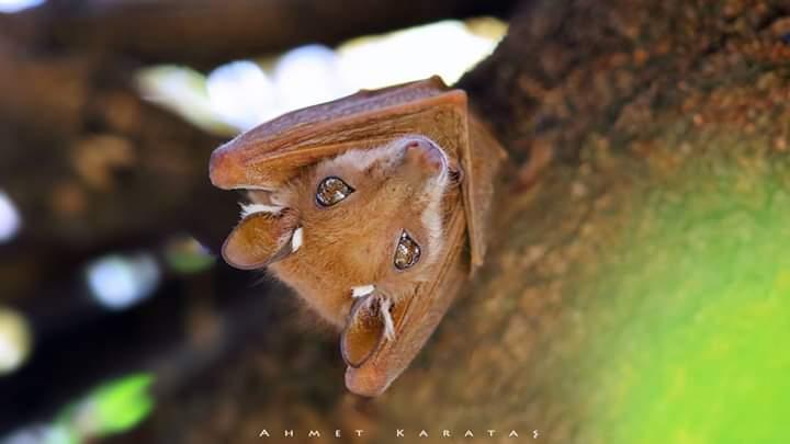Doğu Afrika Apoletli Meyve Yarasası - Epomophorus minimus