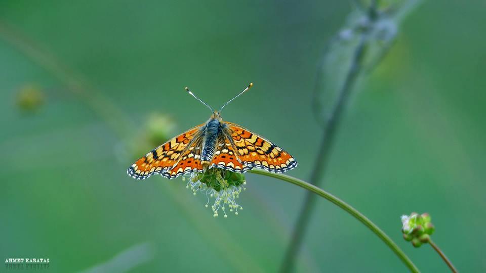Euphydryas orientalis - Güzel Nazuğum