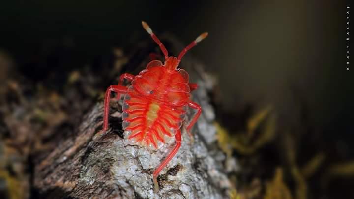 Eusthenes sp. - Kırmızı Böcek