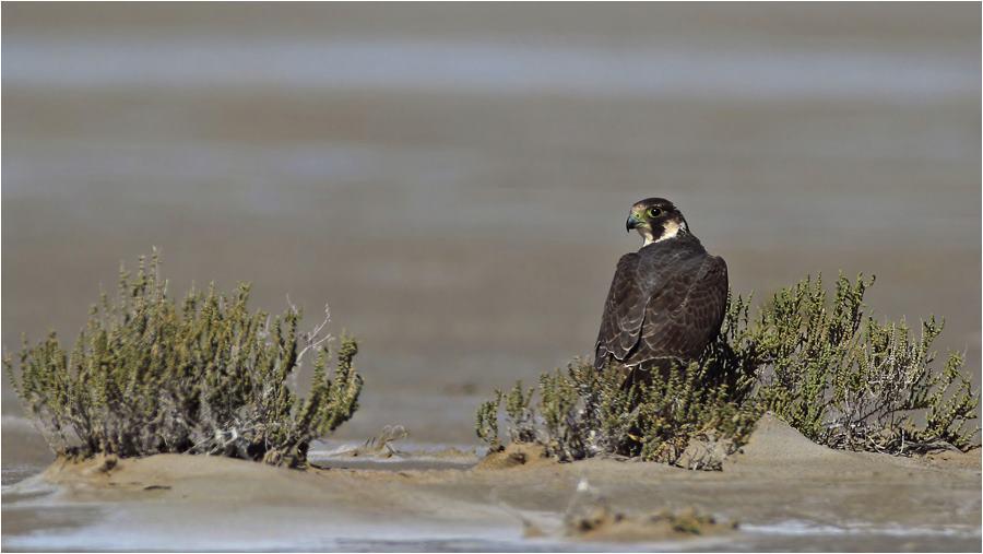 Falco peregrinus - Gökdoğan