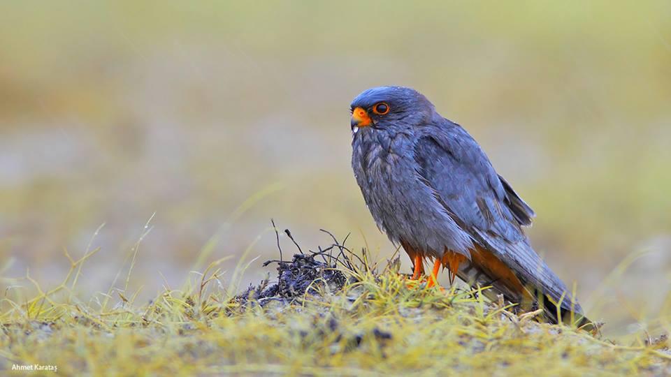 Falco vespertinus - Aladoğan