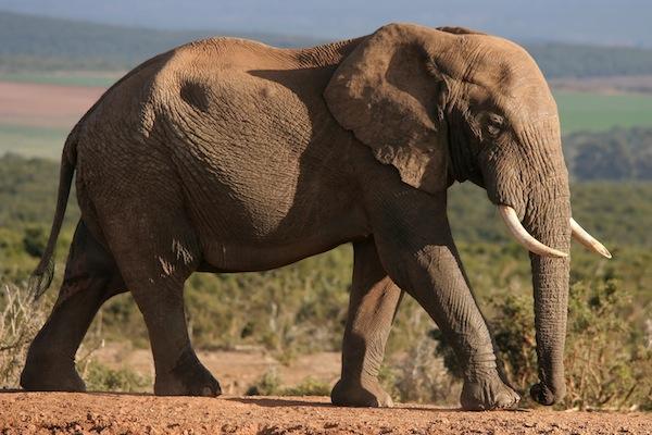 Filler (Elephantidae)