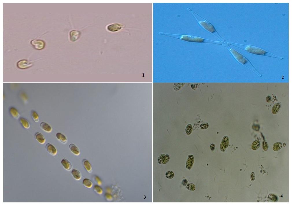 1: Isochrysis galbana, 2: Phaeodactylum sp., 3: Skeletonema costatum, 4: Tetraselmis suecica
