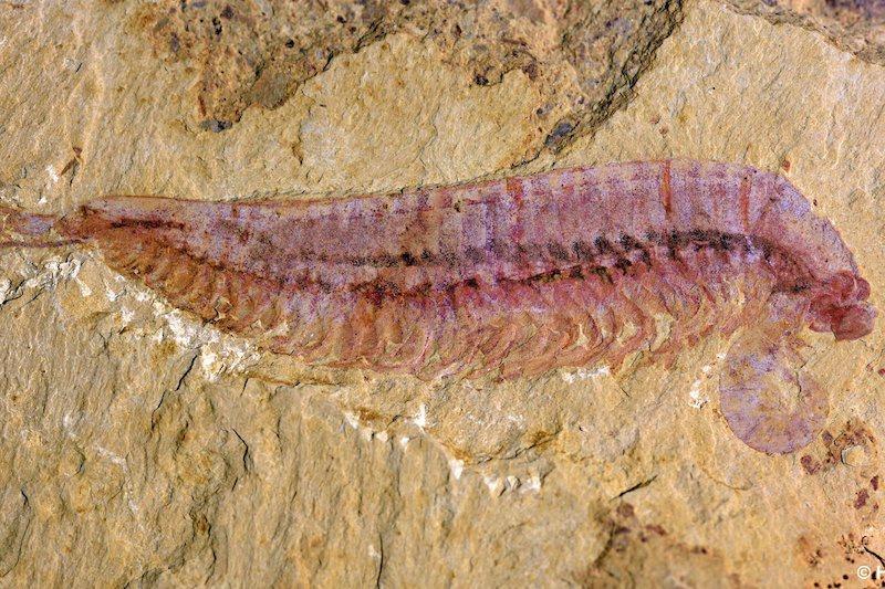 Kylinxia adlı türün tanımlanmasını sağlayan orijinal fosil örnek. C: ZENG Han